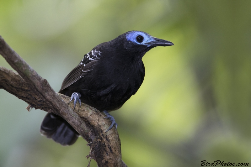 Bare-crowned Antbird