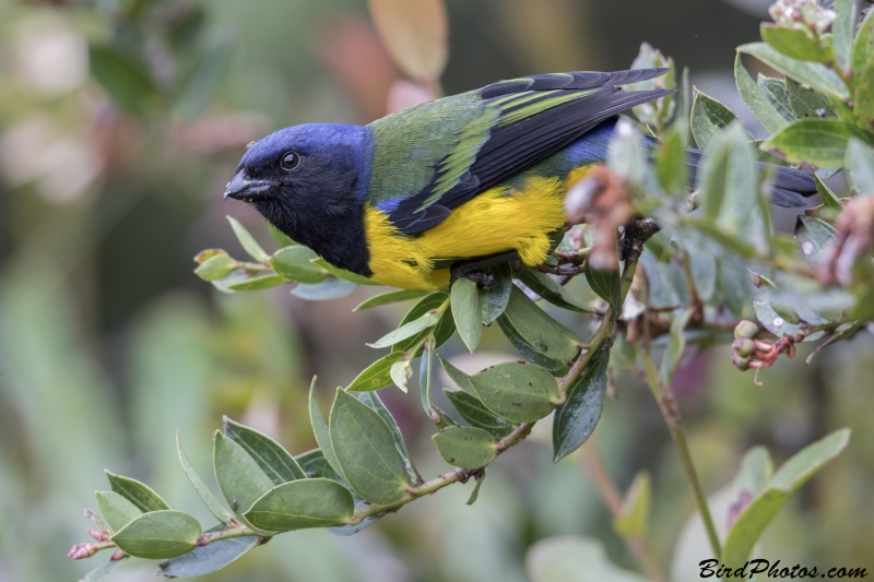 Black-chested Mountain Tanager