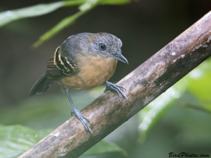 Black-headed Antbird