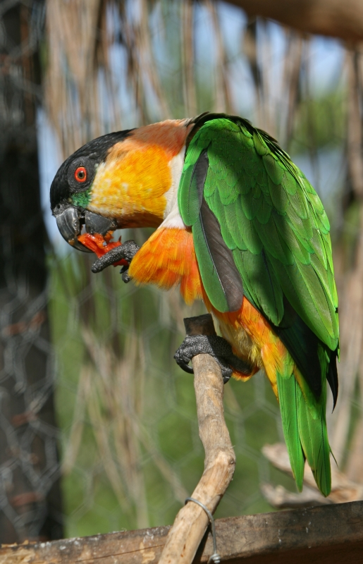 Black-headed Parrot