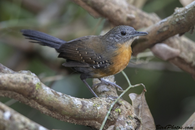 Black-throated Antbird