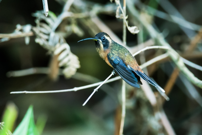 Black-throated Hermit