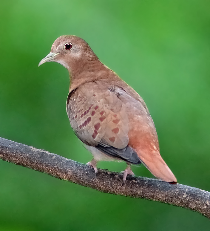 Blue Ground Dove