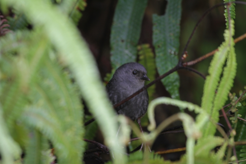 Brown-rumped Tapaculo