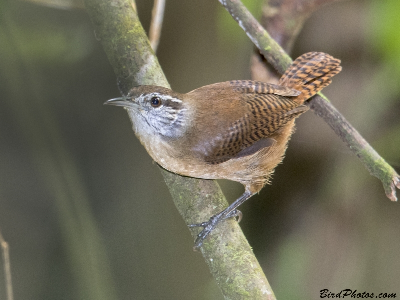 Buff-breasted Wren