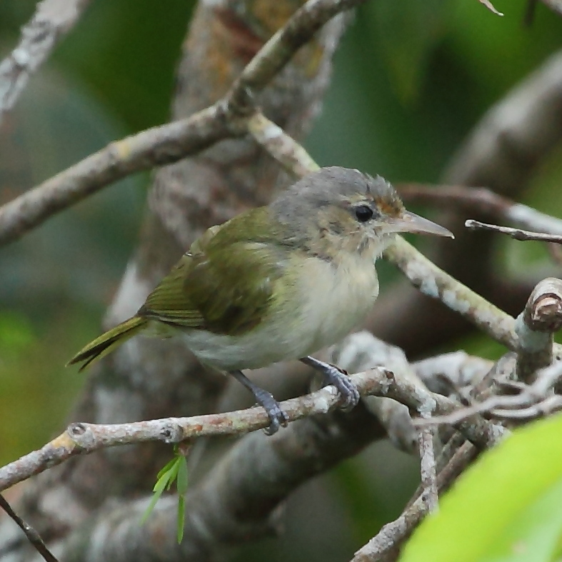 Buff-cheeked Greenlet