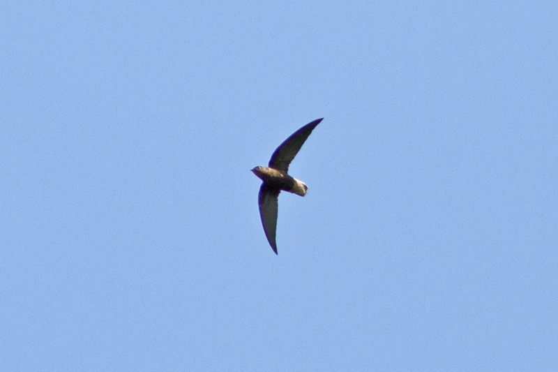 Chapman's Swift