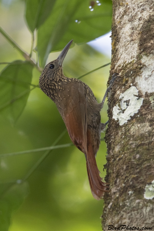 Chestnut-rumped Woodcreeper