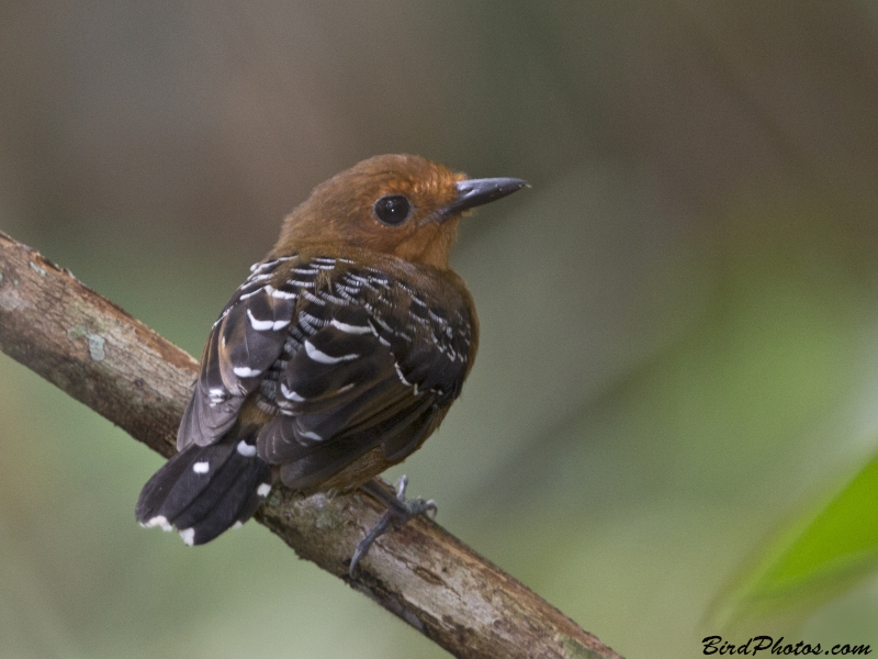 Common Scale-backed Antbird