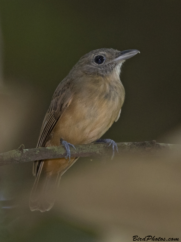 Dusky-throated Antshrike