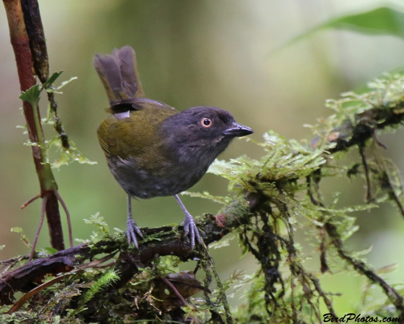 Dusky Bush Tanager