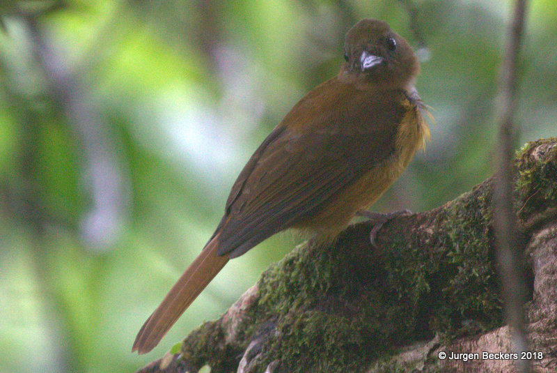 Fulvous Shrike-Tanager