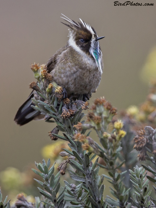 Green-bearded Helmetcrest