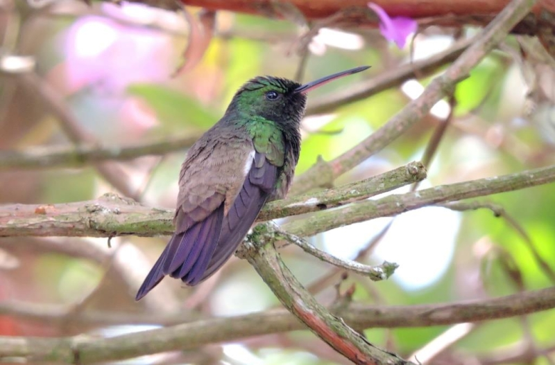 Green-bellied Hummingbird