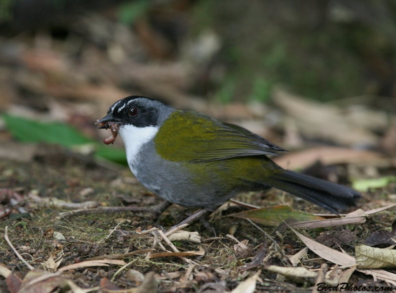 Grey-browed Brushfinch