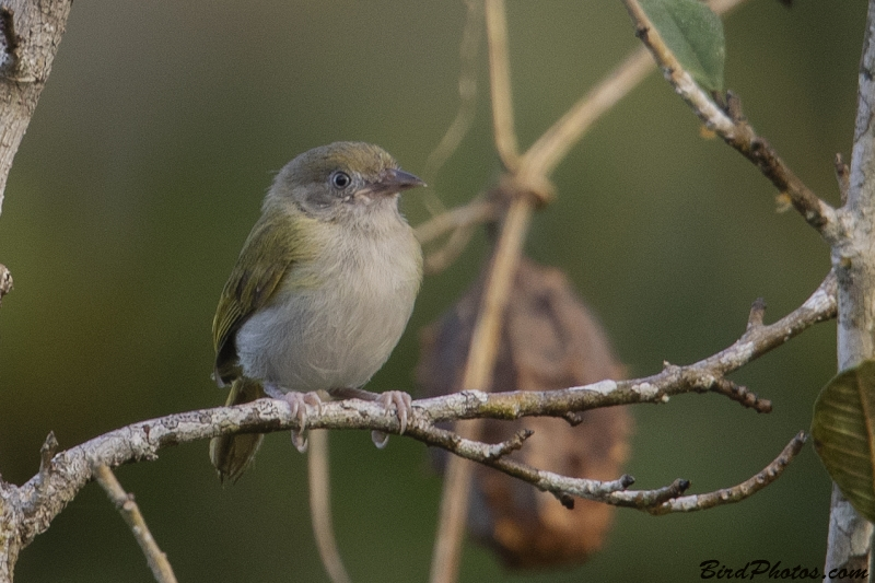 Grey-chested Greenlet