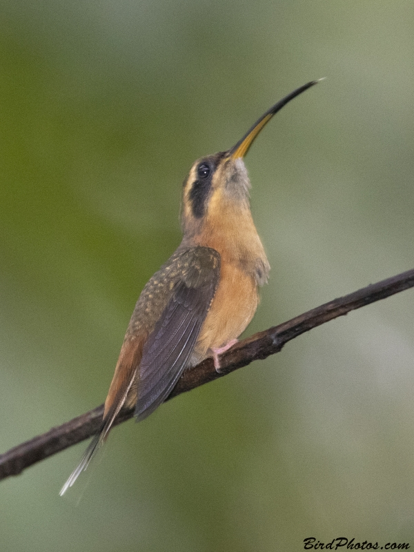 Grey-chinned Hermit