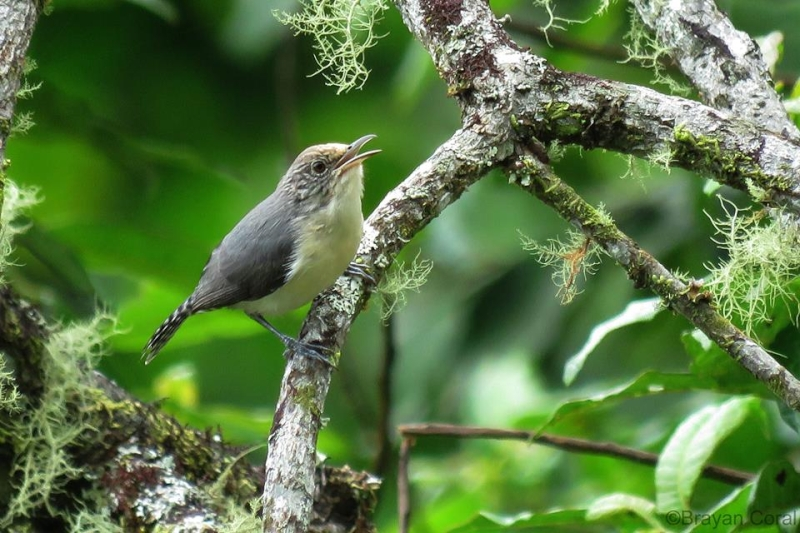 Grey-mantled Wren