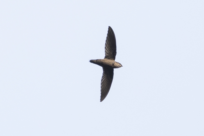 Grey-rumped Swift
