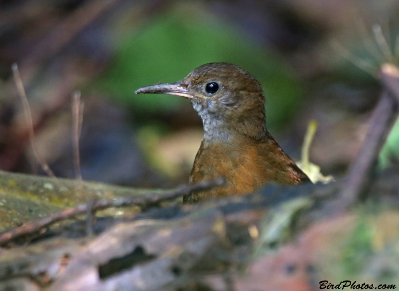 Grey-throated Leaftosser