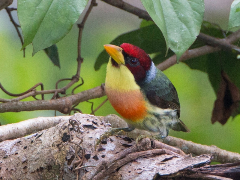 Lemon-throated Barbet