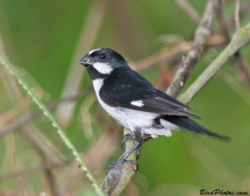 Lined Seedeater