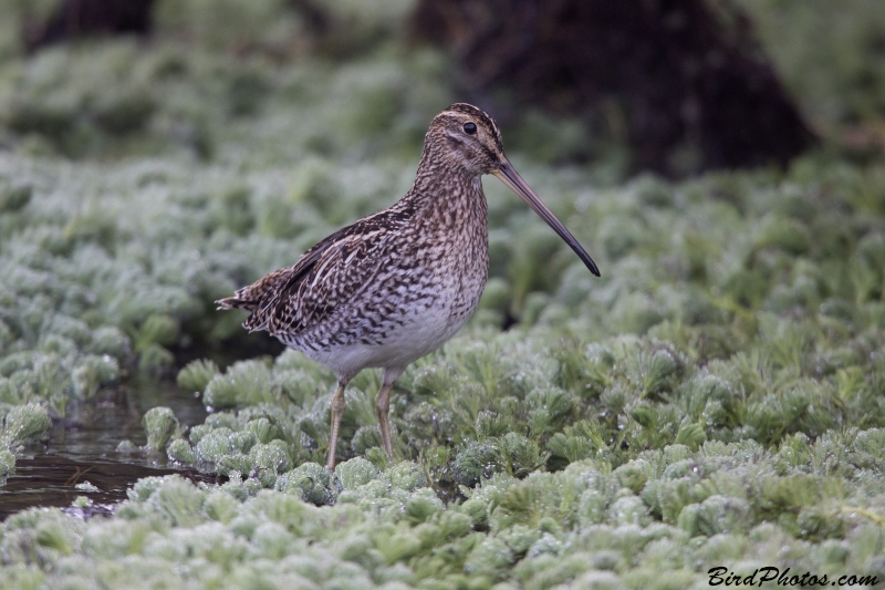Noble Snipe