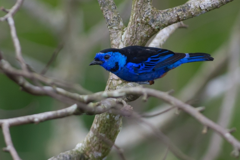 Opal-rumped Tanager
