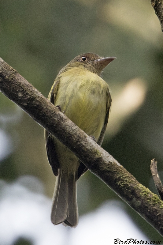 Orange-eyed Flatbill