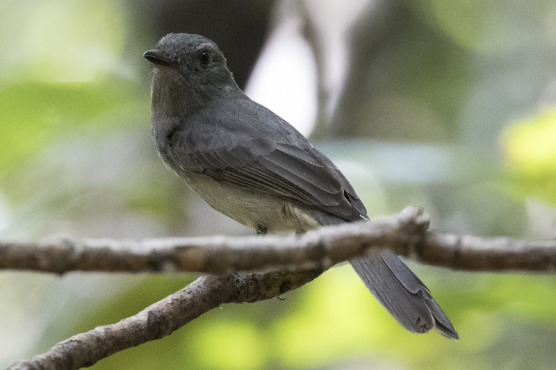 Pale-bellied Mourner