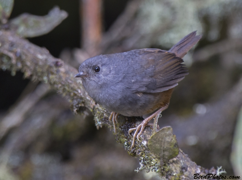 Pale-bellied Tapaculo