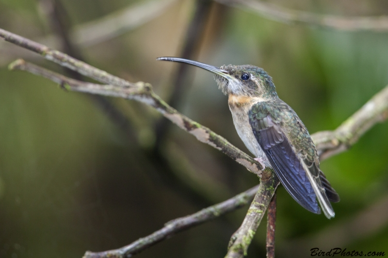 Pale-tailed Barbthroat