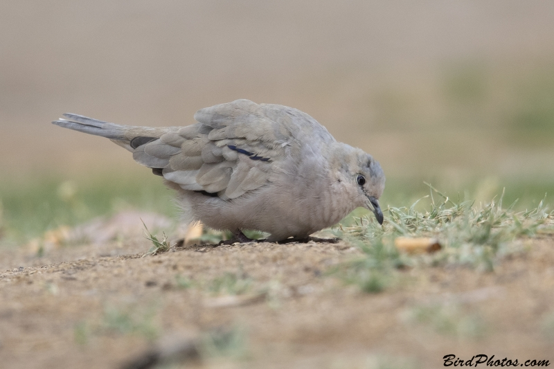 Picui Ground Dove