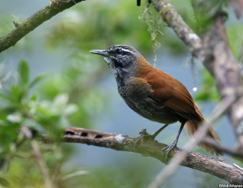 Plain-tailed Wren
