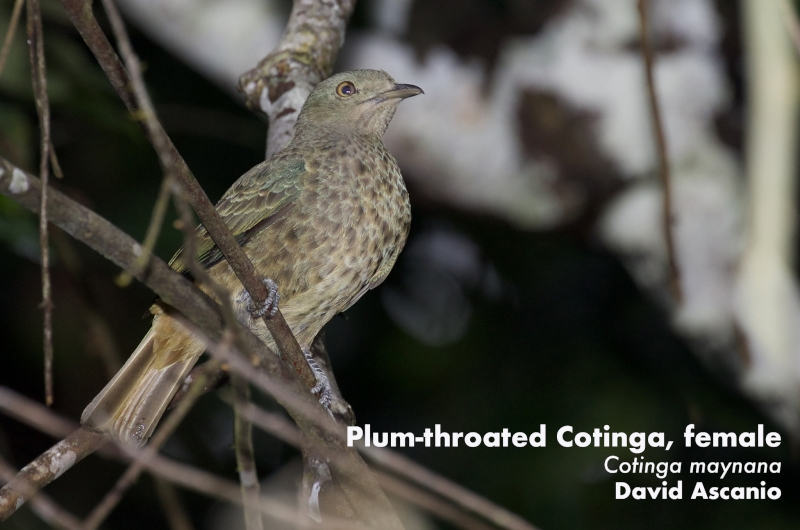 Plum-throated Cotinga