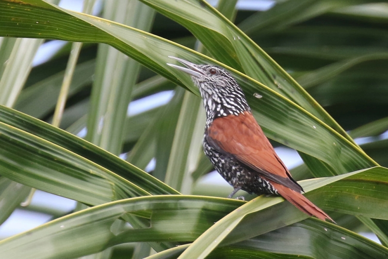 Point-tailed Palmcreeper