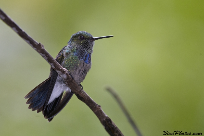 Purple-chested Hummingbird