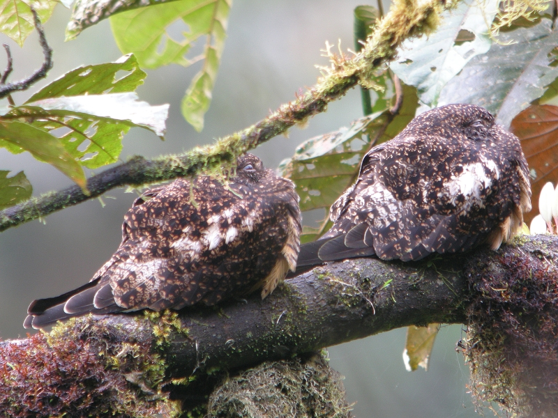 Rufous-bellied Nighthawk