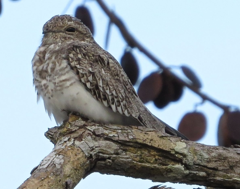 Sand-colored Nighthawk