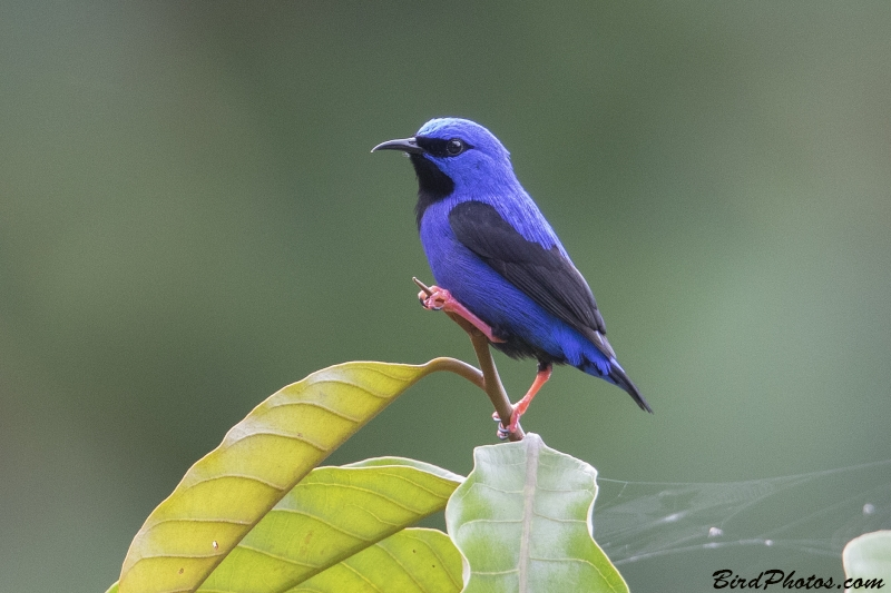 Short-billed Honeycreeper