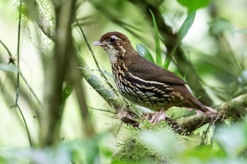 Short-tailed Antthrush