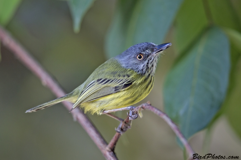 Spotted Tody-Flycatcher