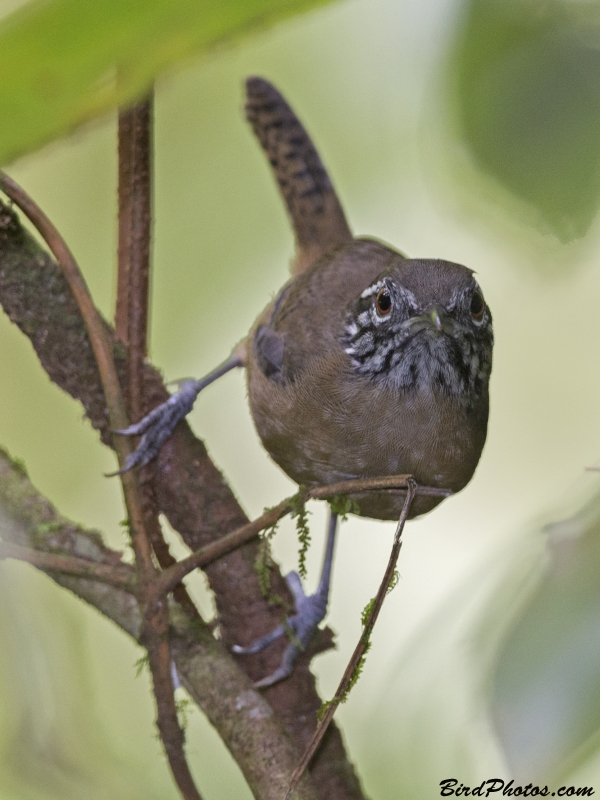 Stripe-throated Wren