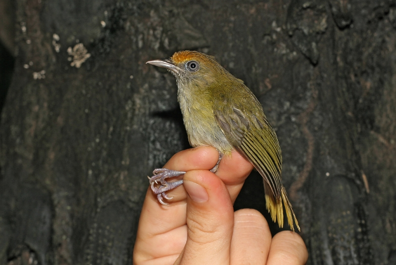 Tawny-crowned Greenlet