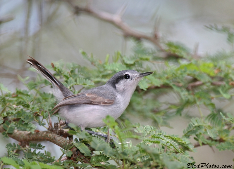 Tropical Gnatcatcher