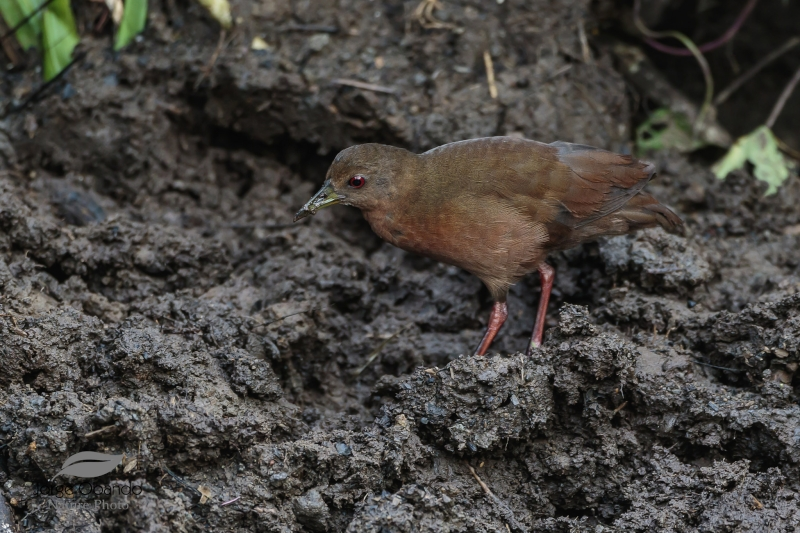 Uniform Crake