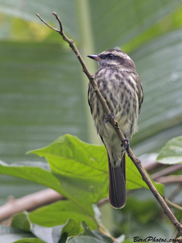 Variegated Flycatcher