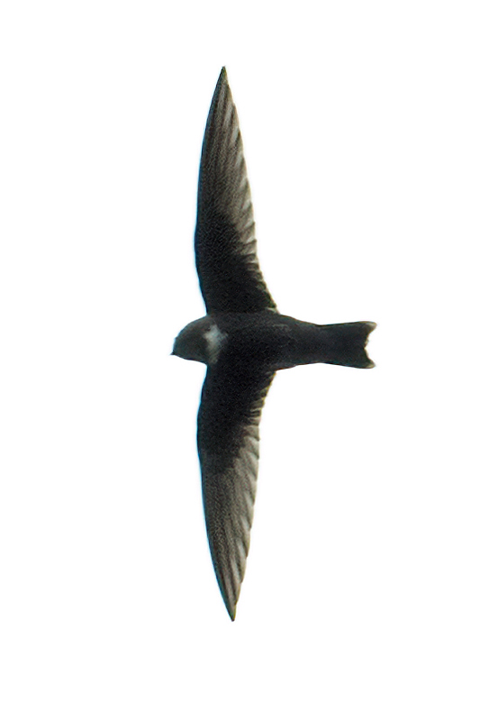 White-chested Swift