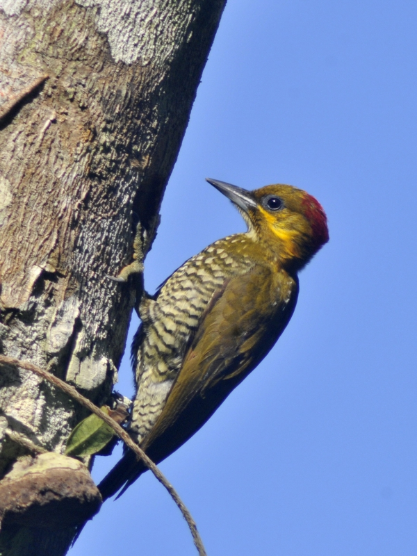 White-throated Woodpecker