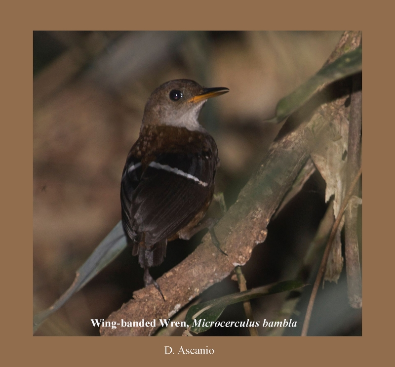 Wing-banded Wren